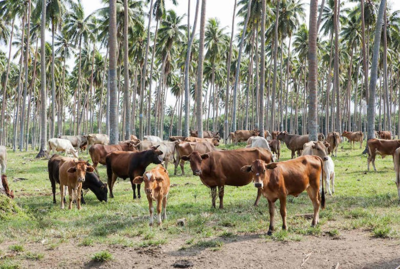 Expert: Vanuatu should be careful with cattle breeding